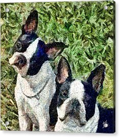 Boston Terrier Duo - Skipper And Dee Dee Acrylic Print by Patty Dunlap and Laurence Canter