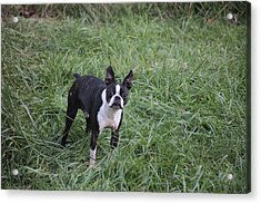 Boston Terrier Acrylic Print