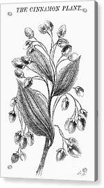 Botany: Cinnamon Plant Acrylic Print by Granger