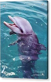 Bottle Nosed Dolphin Acrylic Print by Diane Kurtz