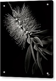 Bottlebrush In Black And White Acrylic Print
