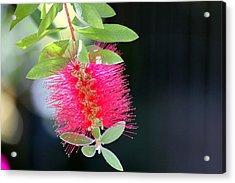 Bottlebrush Nectar Acrylic Print