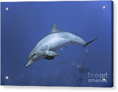 Bottlenose Dolphin Acrylic Print by Tom Peled