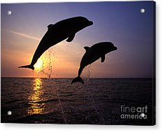 Bottlenose Dolphins Acrylic Print by Francois Gohier and Photo Researchers
