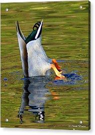 Bottoms Up Mallard Acrylic Print by DerekTXFactor Creative