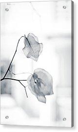 Bougainvillea - High-key Lighting Acrylic Print