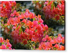 Bougainvillea 'alabama Sunset 1 Acrylic Print by Elizabeth  Doran