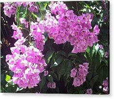 Bougainvillea Flowers  Acrylic Print by Lisa Williams