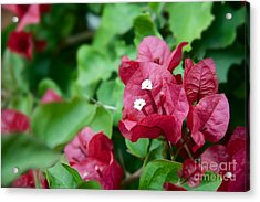 Bougainvillea San Diego Vibrant Red Flowers Closeup  Acrylic Print by Sherry  Curry