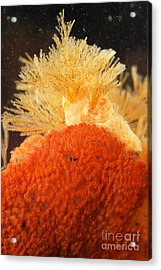 Bowerbanks Halichondria & Spiral-tufted Acrylic Print by Ted Kinsman