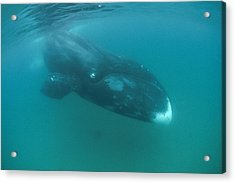 Bowhead Whale Diving  Of Baffin Island Acrylic Print