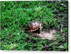 Box Turtle  Acrylic Print by The Kepharts