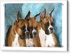 Boxer 655 Acrylic Print by Larry Matthews