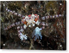 Boxer Crab Acrylic Print by Matthew Oldfield