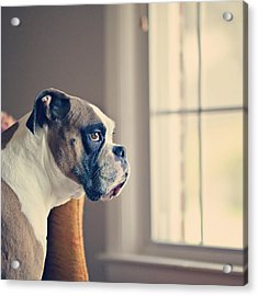 Boxer Dog Acrylic Print by Laura Ruth