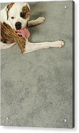 Boxer Dog Lying On Carpet, Overhead View Acrylic Print by Dtp