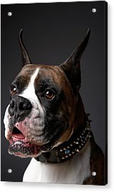 Boxer Dog With Ears Pricked, Close-up Acrylic Print by Chris Amaral
