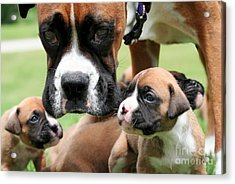 Boxer Mommy Watch Over Pups  Acrylic Print by Renae Laughner