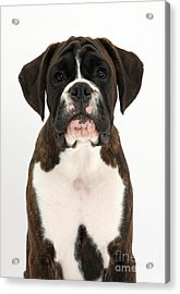 Boxer Pup Acrylic Print by Mark Taylor
