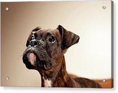 Boxer Puppy Acrylic Print by Chad Latta