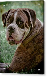 Boxer Smiles Acrylic Print by DigiArt Diaries by Vicky B Fuller