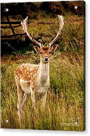 Wildlife Fallow Deer Stag Acrylic Print by Linsey Williams