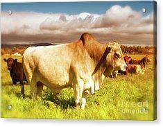 Brahma Bull And Harem Acrylic Print by Gus McCrea