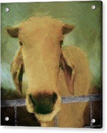 Brahma Cow Greeting Acrylic Print by Ann Powell