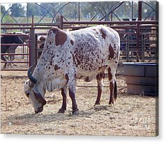 Brahma Cow Acrylic Print