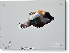 Brahminy Shelduck Acrylic Print by Fotosas Photography