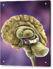 Brain Anatomy, 3d Artwork Acrylic Print by Ramon Andrade 3dciencia
