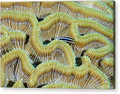 Brain Coral Acrylic Print by Robin Wilson Photography