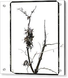 Branch Of Dried Out Flowers. Acrylic Print by Bernard Jaubert