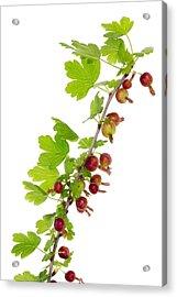 Branch Of Prickly Gooseberry Acrylic Print by Aleksandr Volkov