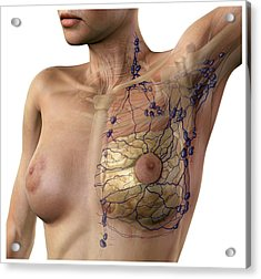 Breast Lymphatic System, Artwork Acrylic Print by D & L Graphics