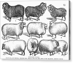 Breeds Of Sheep, 1876 Acrylic Print by Granger