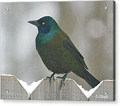 Brewer's Blackbird Acrylic Print by Debbie Sikes