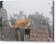 Bridging Cat Acrylic Print