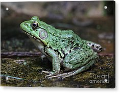 Bright Green Bullfrog Acrylic Print by Chris Hill