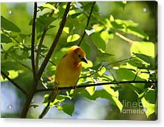 Bright Yellow Songbird Acrylic Print by Christina A Pacillo