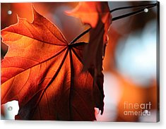 Brilliant Bronze Maple Leaf Acrylic Print by Chris Hill