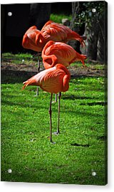 Brilliant Flamingos Acrylic Print by Mary Machare