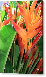 Brilliant Heliconia Acrylic Print by Karen Nicholson