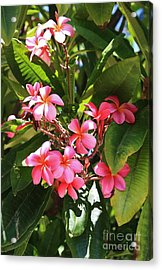 Brilliant Pink Plumaria Acrylic Print by Craig Wood