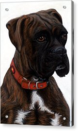 Brindle Boxer Acrylic Print by Michelle Harrington