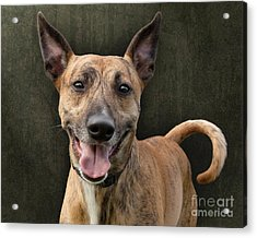 Brindle Dog With Great Ears Acrylic Print