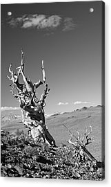 Bristlecone Pine And Cloud Acrylic Print