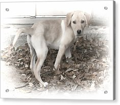 British Labrador In Natural Tones Acrylic Print by Linda Phelps