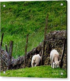 British Lamb Acrylic Print by Isabella F Abbie Shores