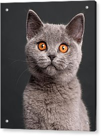 British Shorthair Kitten (3 Months Old) Acrylic Print by Life On White